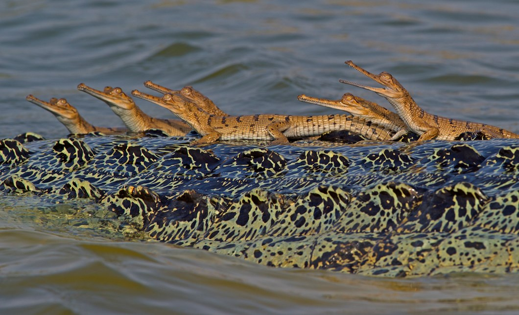 baby-gharials-on-back_2_2018-06-11.jpg