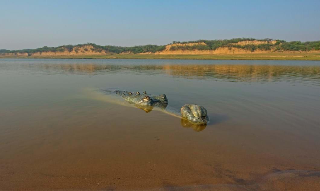 gharial-in-water_2018-06-11.jpg