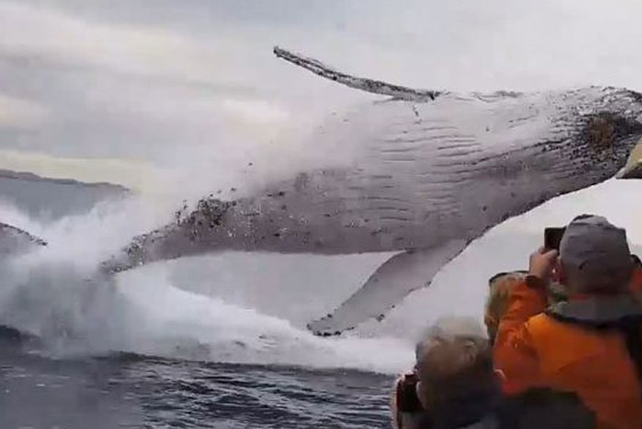 WATCH: Humpback launches into the air just metres from whale-watching boat