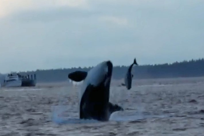 Amazing footage shows orcas hunting porpoises off the coast of Canada