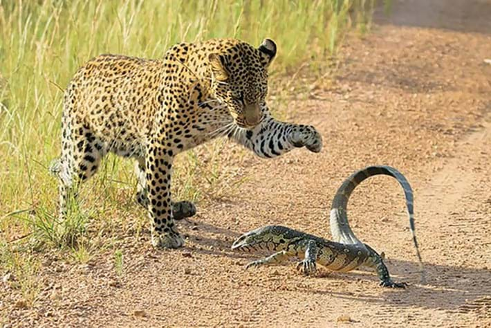 leopard-monitor-lizard_2018-06-20.jpg