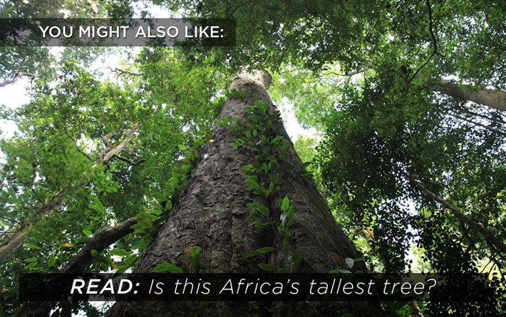 africa-tallest-tree_2018-06-27.jpg