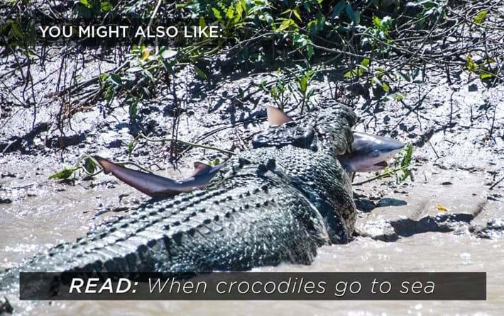 crocodiles-sea_2018-06-27.jpg