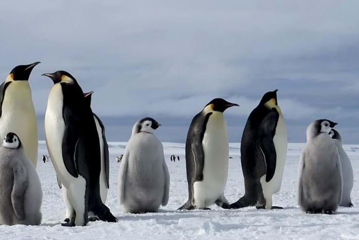 How do emperor penguins survive the icy Antarctic winter?