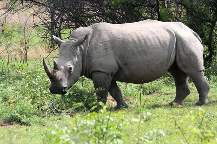 Hybrid embryos raise hope of resurrecting northern white rhino – but what's the point?