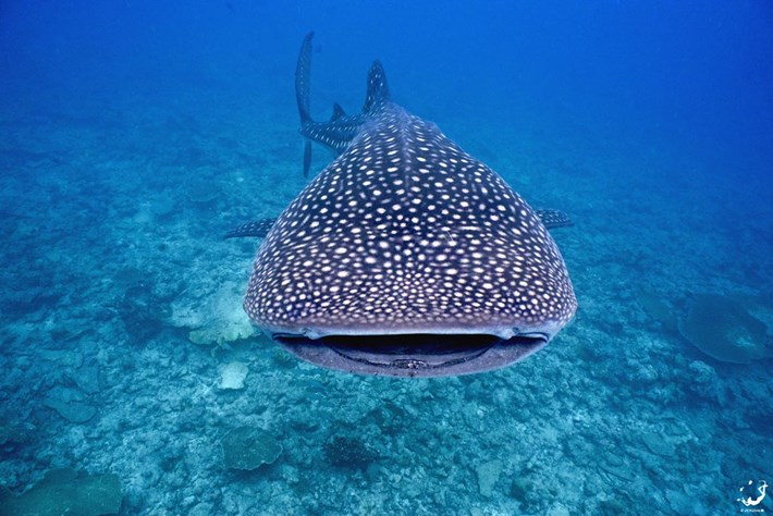 Whale sharks gather at a few specific locations around the world – now we know why
