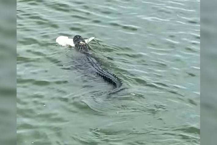 gator-shark_2018-07-17.jpg