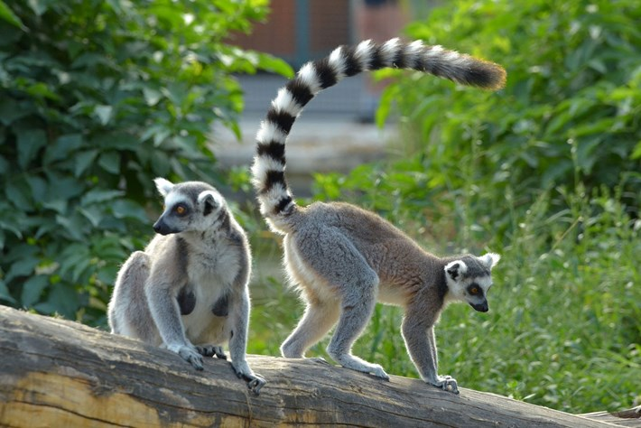 ring-tailed-lemurs_2017-07-18.jpg