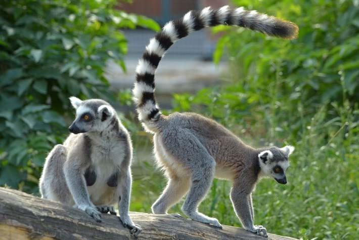 ring-tailed-lemurs_page_2017-07-18.jpg