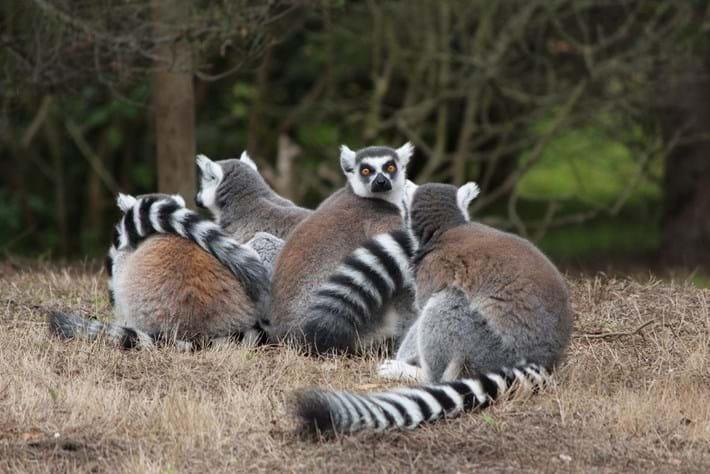 ring-tailed-lemurs-social_2017-07-18.jpg