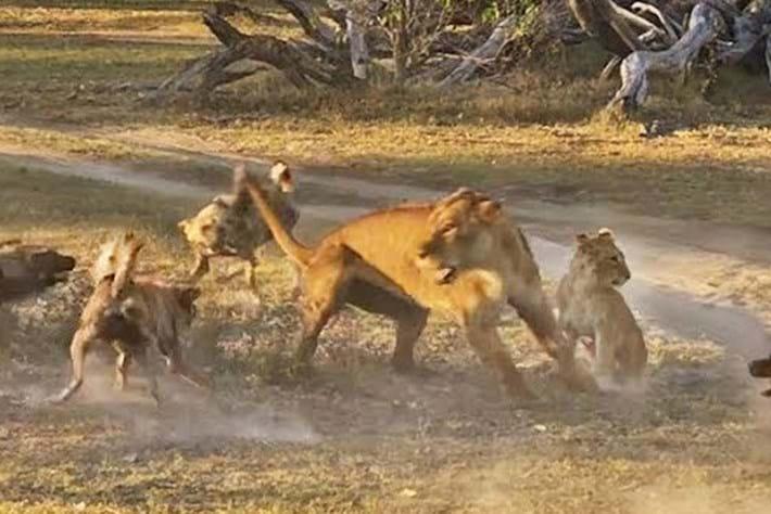 lion-wild-dogs_2018-07-27.jpg