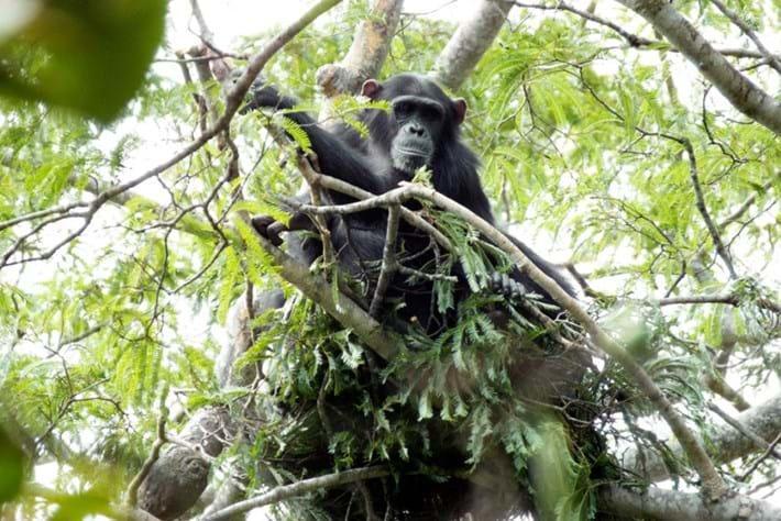 chimp-in-tree_2018-07-31.jpg