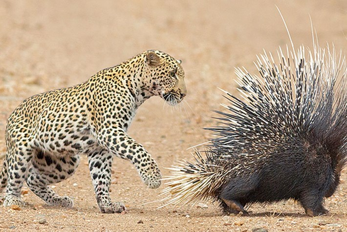 leopard-porcupine_2018-08-03.jpg