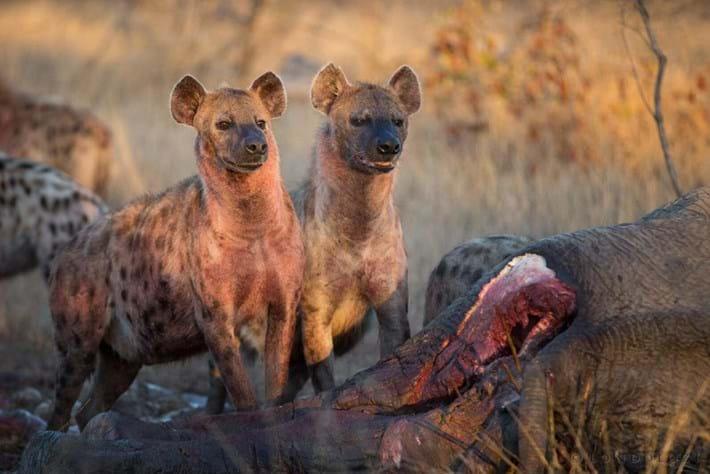 Hyenas-elephant-carcass-3_2018-08-07.jpg