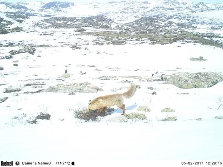 fox-reindeer-carcass_2018-07-22.jpg