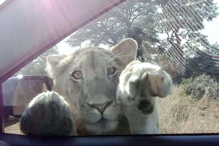 lion-car-window_2018-09-11.jpg
