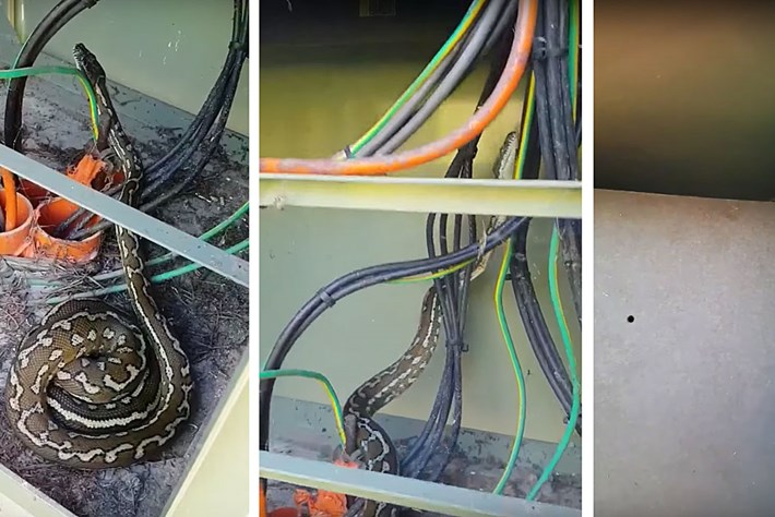 In Australia, a carpet python in an electrical box is just a useful way to get rid of rats