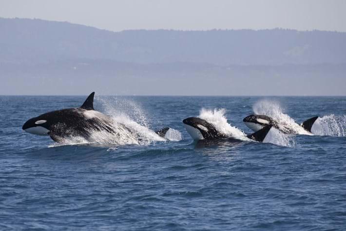 orcas-leaping_big_2019-10-05.jpg