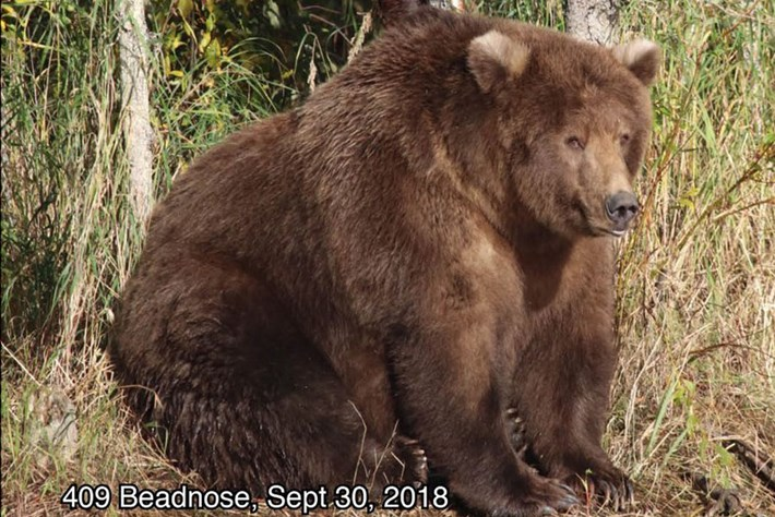 You have just a few hours left to vote for America's fattest bear