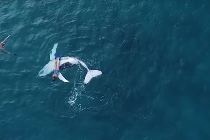 Watch: Snorkeller gets a belly-rub from a humpback whale calf