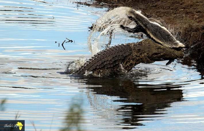 crocodile-honey-badger-Kruger-National-Park-7_2018-10-12.jpg
