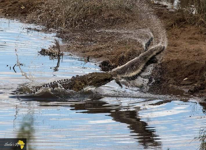 crocodile-honey-badger-Kruger-National-Park-6_2018-10-12.jpg