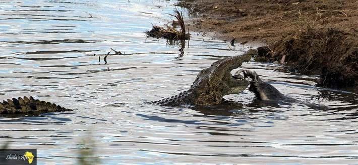 crocodile-honey-badger-Kruger-National-Park-5_2018-10-12.jpg
