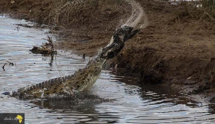 crocodile-honey-badger-Kruger-National-Park-3_2018-10-12.jpg
