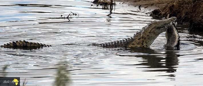 crocodile-honey-badger-Kruger-National-Park-8_2018-10-12.jpg