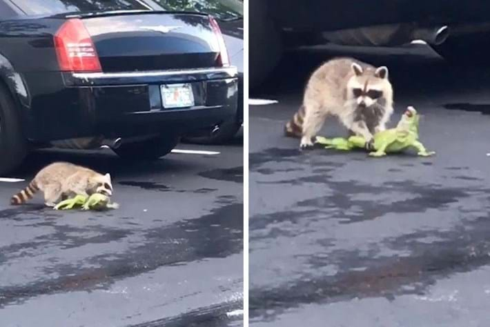 Watch: Raccoon takes down iguana in the middle of a Florida parking lot