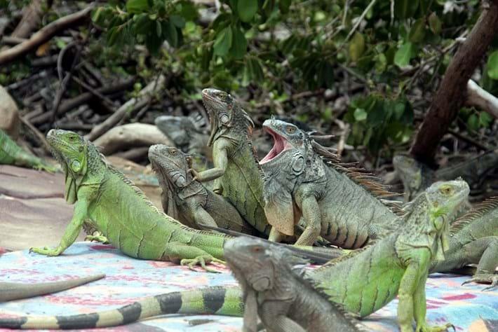 green_iguanas_2018-17-10.jpg