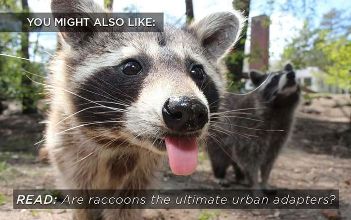 raccoon-birdfeeder-related_2018-10-17.jpg