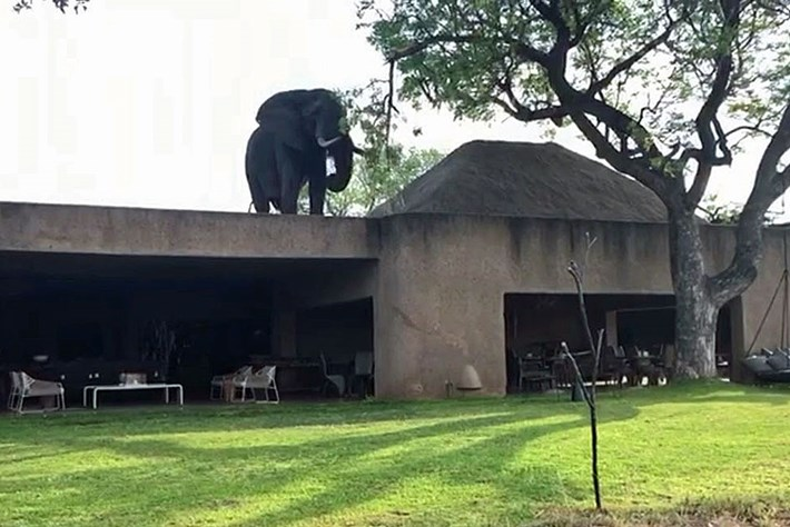 Elephant filmed strolling around on a resort rooftop in South Africa