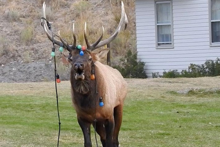 'Light-headed' elk gets Christmas decorations tangled in its antlers (video)