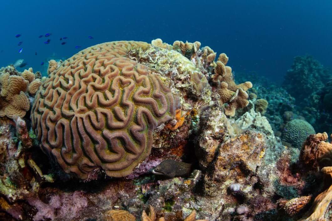 boulder-brain-coral_2018-10-24.jpg