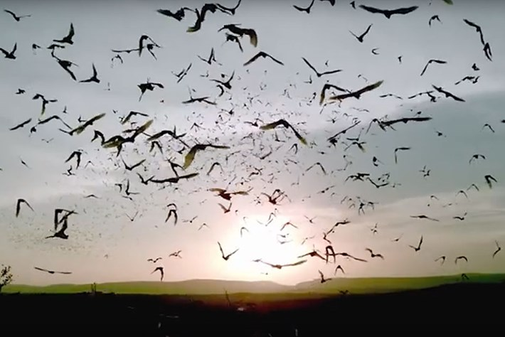 Bat Ballet: Slo-mo footage reveals how thousands of bats emerge from a cave without injury