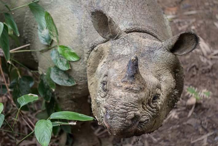 WATCH: The world's rarest rhino caught on camera in Indonesia