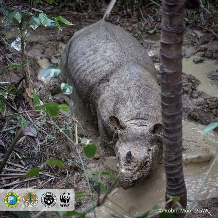 javan-rhino-4_2018-11-19.jpg