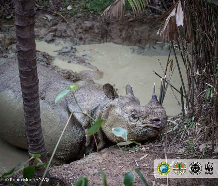 javan-rhino-5_2018-11-19.jpg