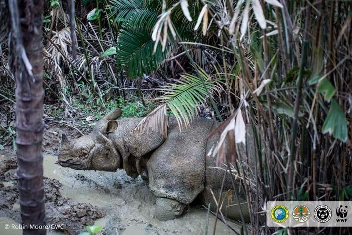 javan-rhino-6_2018-11-19.jpg