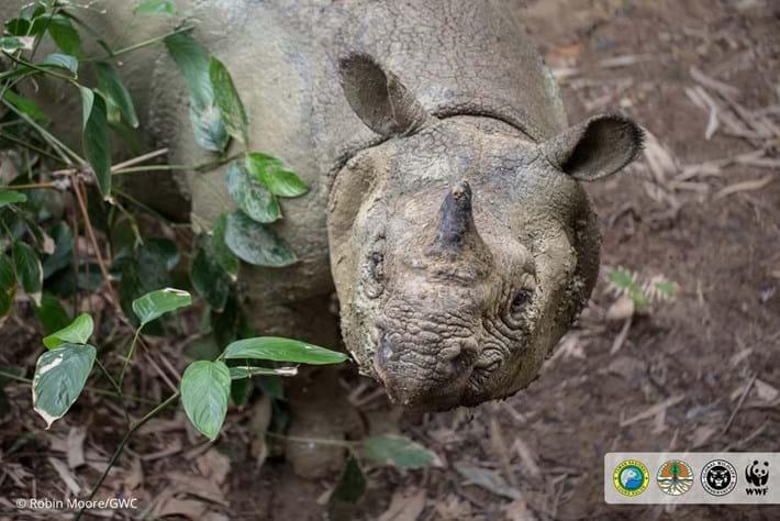 javan-rhino-2_2018-11-19.jpg