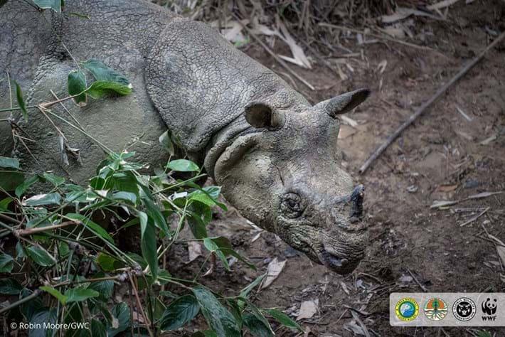 javan-rhino-3_2018-11-19.jpg