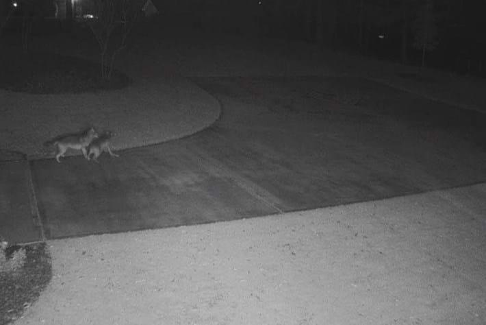 coyote-deer_2018-11-22.jpg