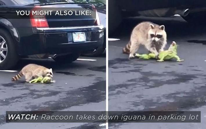raccoon-iguana-related_2018-11-22.jpg