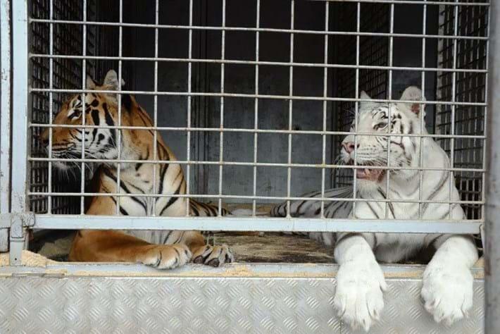 tigers-cage_2018-11-26.jpg