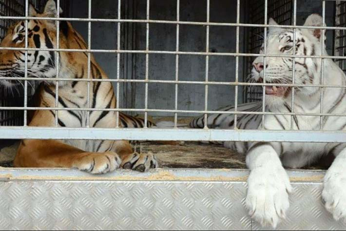 Captive breeding has a dark side – as disturbing Czech discovery of trafficked tiger body parts highlights