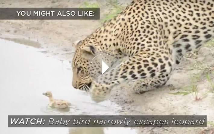 leopard-baby-bird-related_2018-12-12.jpg