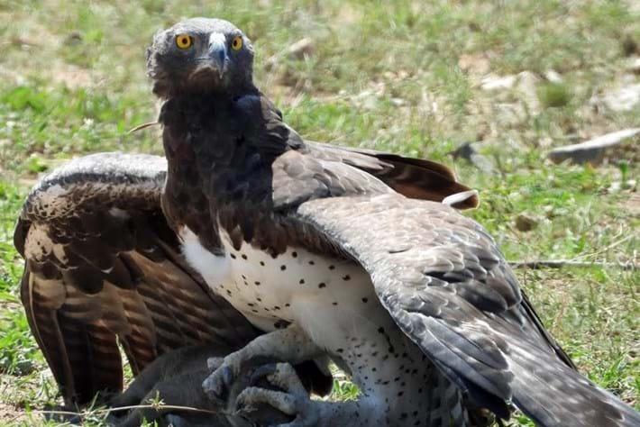 Martial-eagle-vs-warthog-piglet_2019-01-07.jpg