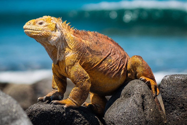 land-iguana-page_2019-01-10.jpg