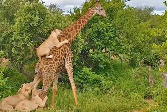Lion-giraffe_2019-01-29.jpg
